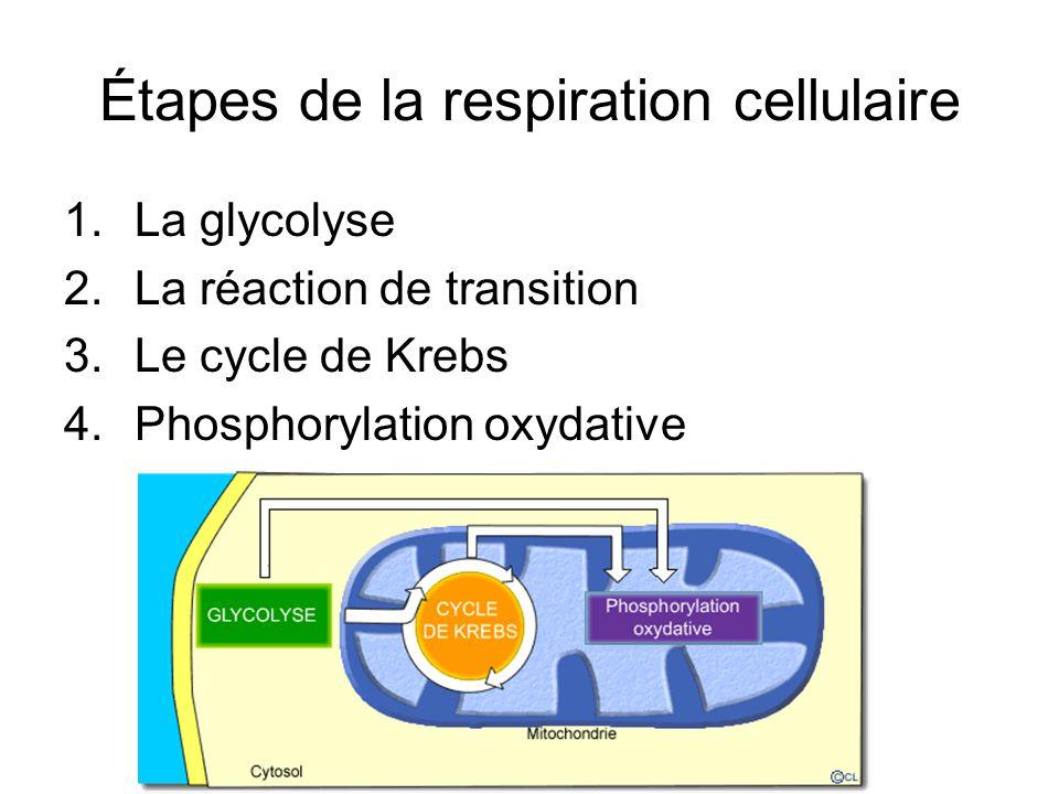 Étapes de la respiration cellulaire 1.La glycolyse 2.La réaction de transition 3.Le cycle de Krebs 4.Phosphorylation oxydative