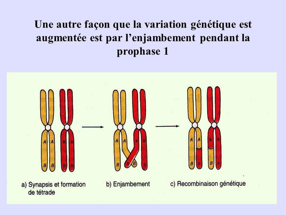 Une autre façon que la variation génétique est augmentée est par lenjambement pendant la prophase 1