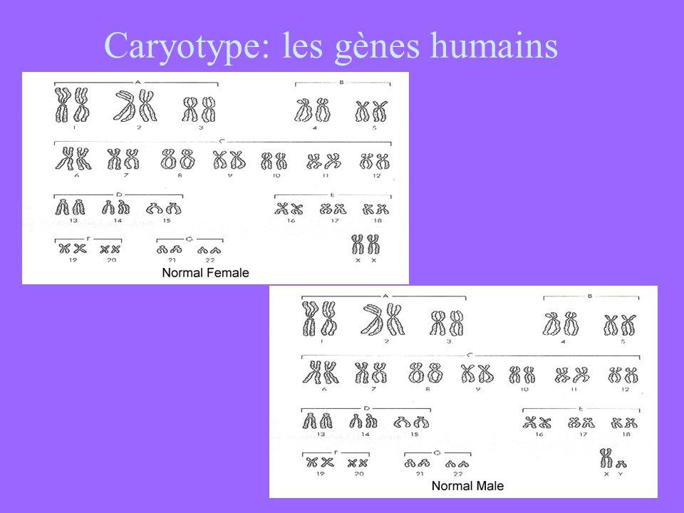 Caryotype: les gènes humains