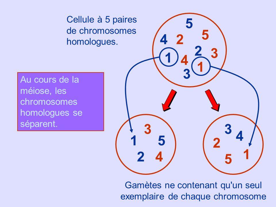 1 2 3 4 5 5 3 1 4 2 2 5 5 33 1 1 4 4 2 Cellule à 5 paires de chromosomes homologues. Gamètes ne contenant qu'un seul exemplaire de chaque chromosome A