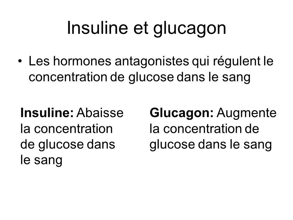 Insuline et glucagon Les hormones antagonistes qui régulent le concentration de glucose dans le sang Insuline: Abaisse la concentration de glucose dan