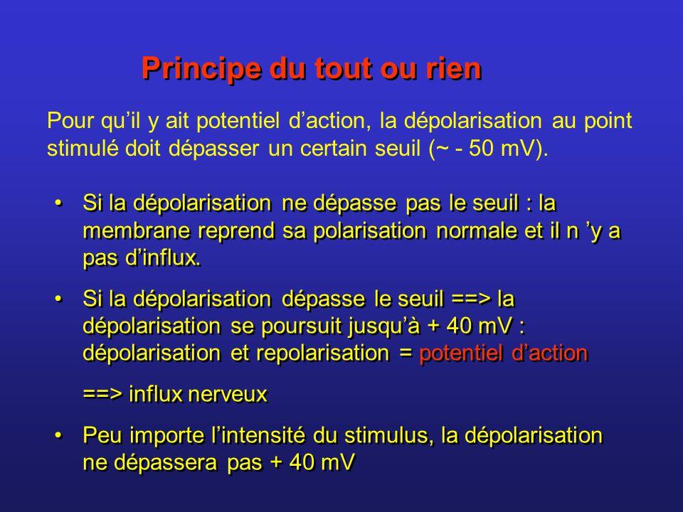 Principe du tout ou rien Pour quil y ait potentiel daction, la dépolarisation au point stimulé doit dépasser un certain seuil (~ - 50 mV). Si la dépol