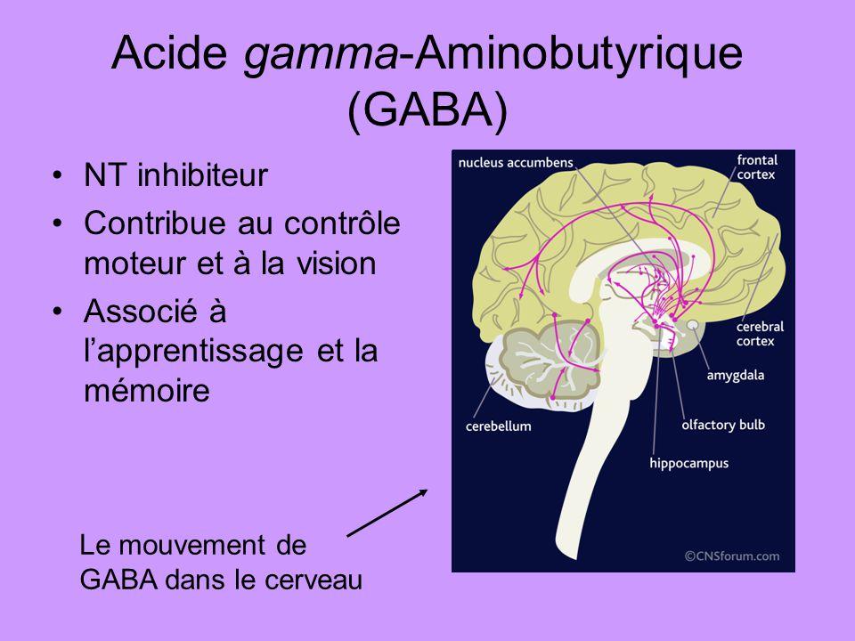 Acide gamma-Aminobutyrique (GABA) NT inhibiteur Contribue au contrôle moteur et à la vision Associé à lapprentissage et la mémoire Le mouvement de GAB