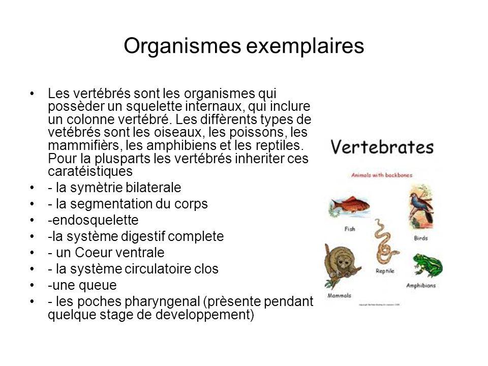 Organismes exemplaires Les vertébrés sont les organismes qui possèder un squelette internaux, qui inclure un colonne vertébré.