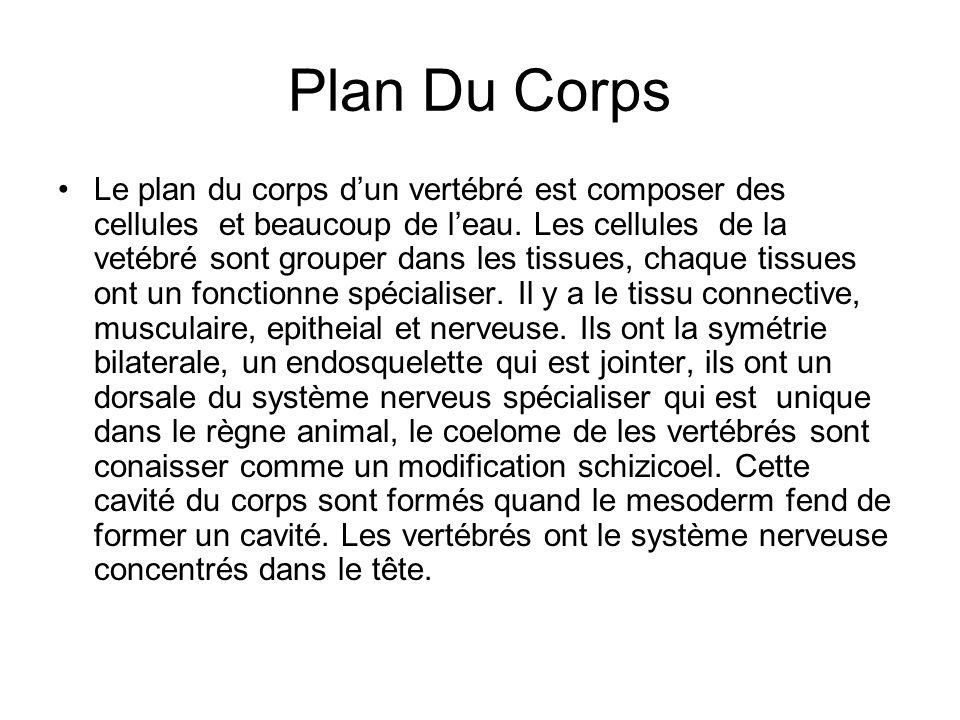 Plan Du Corps Le plan du corps dun vertébré est composer des cellules et beaucoup de leau.