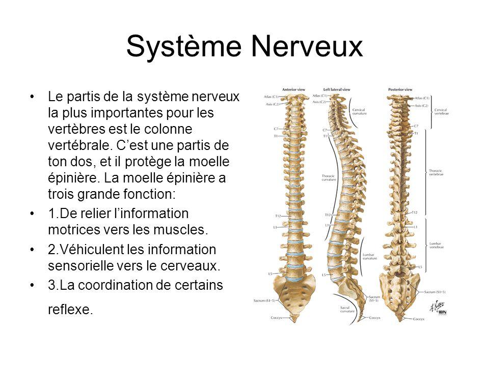 Système Nerveux Le partis de la système nerveux la plus importantes pour les vertèbres est le colonne vertébrale.