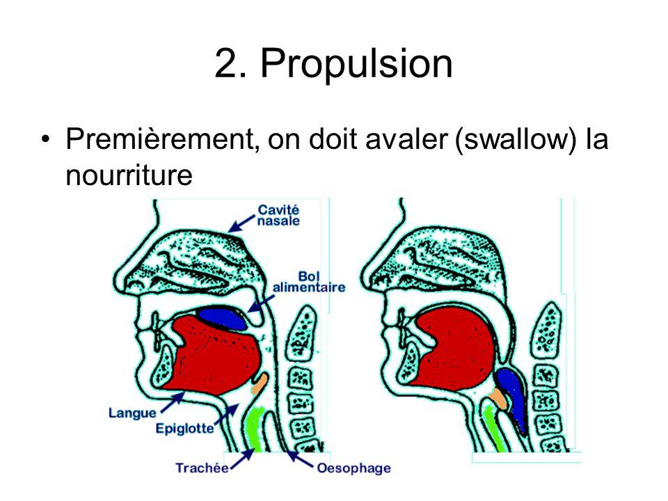 Anatomie de lintestin grêle