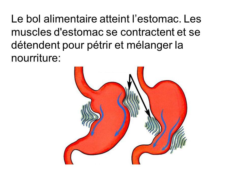 La nourriture atteint lintestin grêle où elle subit la segmentation: Les mouvements de lintestin grêle démolissent la nourriture encore plus loin.