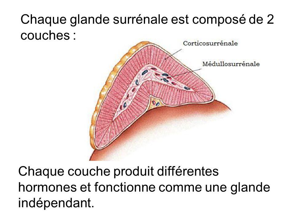 Chaque glande surrénale est composé de 2 couches : Chaque couche produit différentes hormones et fonctionne comme une glande indépendant.
