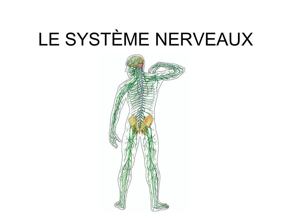 LE SYSTÈME NERVEAUX