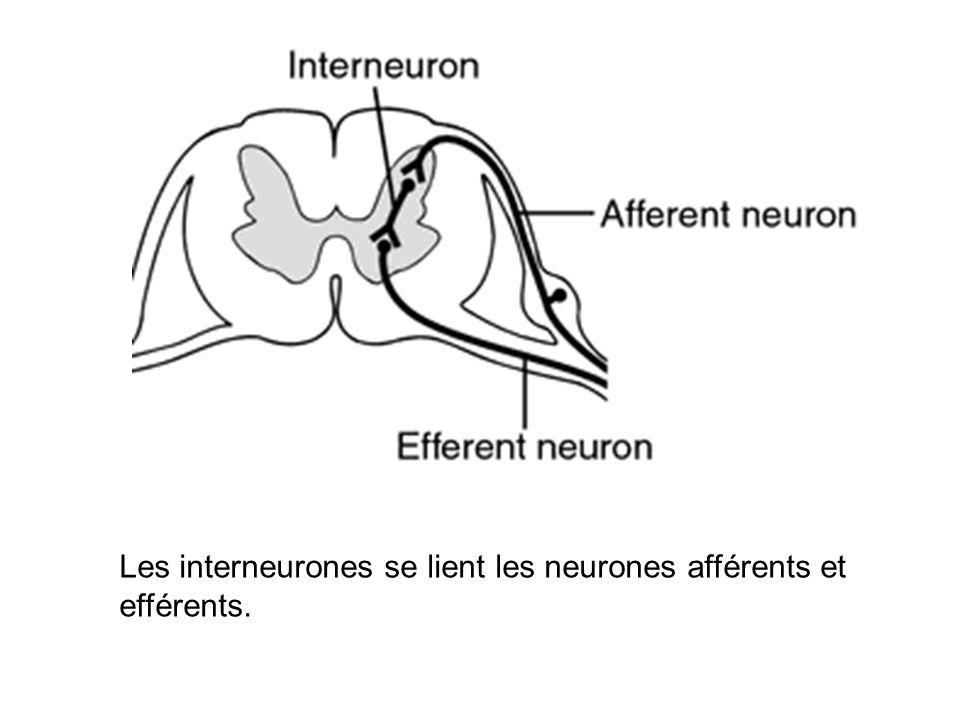 Les interneurones se lient les neurones afférents et efférents.