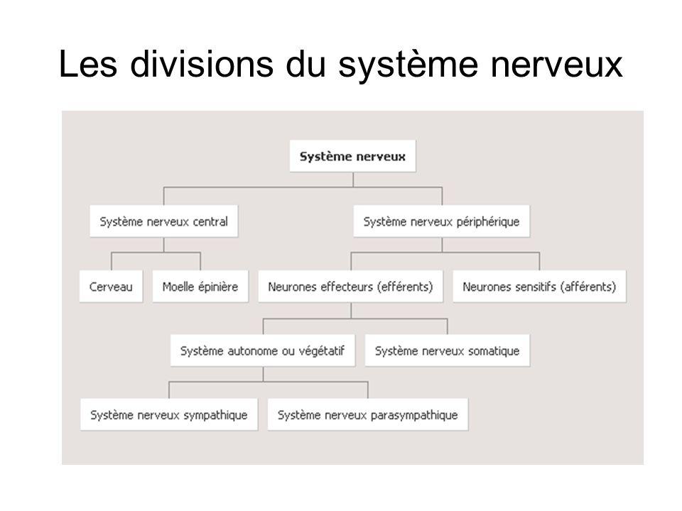 Les divisions du système nerveux