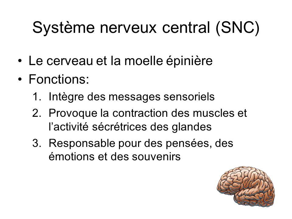 Système nerveux central (SNC) Le cerveau et la moelle épinière Fonctions: 1.Intègre des messages sensoriels 2.Provoque la contraction des muscles et lactivité sécrétrices des glandes 3.Responsable pour des pensées, des émotions et des souvenirs