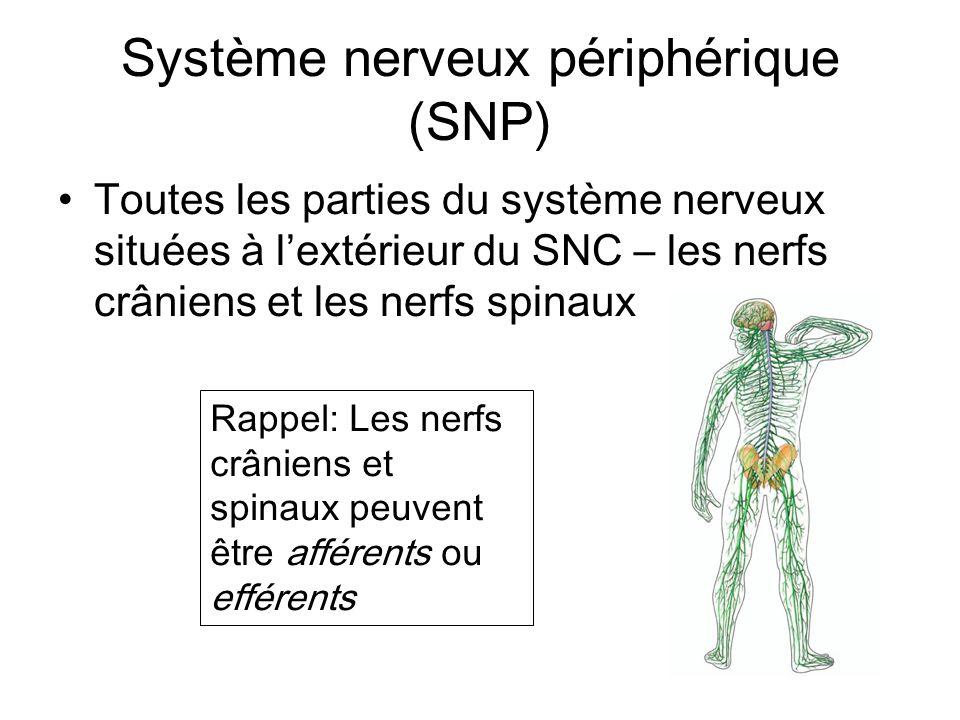 Système nerveux périphérique (SNP) Toutes les parties du système nerveux situées à lextérieur du SNC – les nerfs crâniens et les nerfs spinaux Rappel: