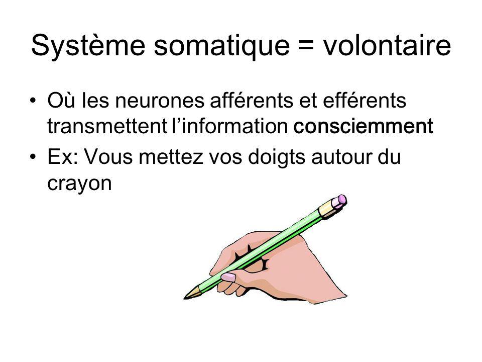 Système somatique = volontaire Où les neurones afférents et efférents transmettent linformation consciemment Ex: Vous mettez vos doigts autour du cray
