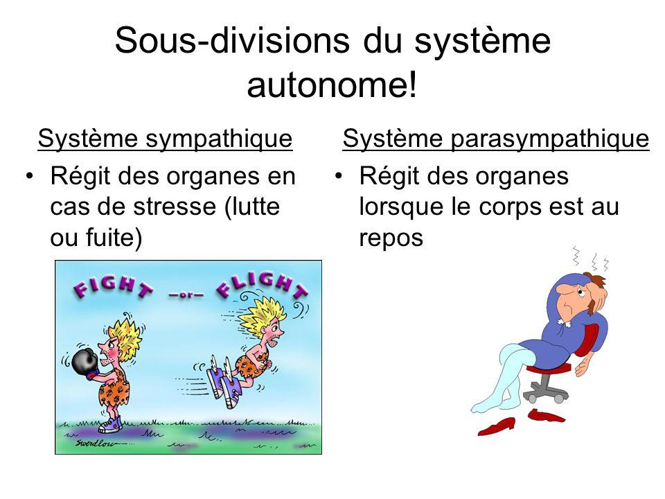 Sous-divisions du système autonome! Système sympathique Régit des organes en cas de stresse (lutte ou fuite) Système parasympathique Régit des organes