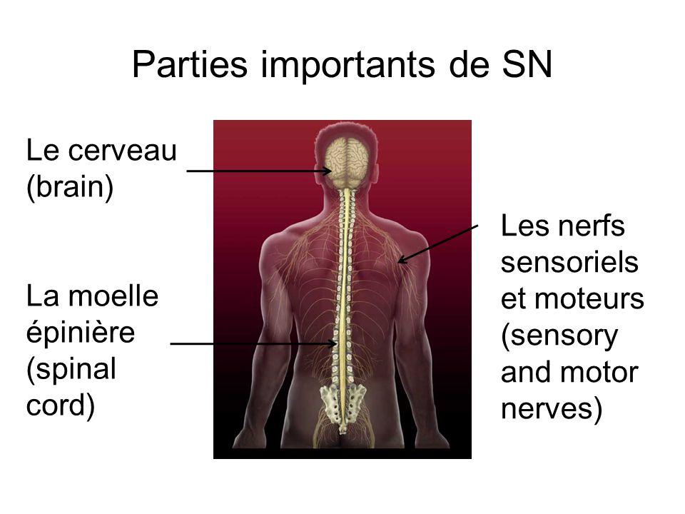 Parties importants de SN Le cerveau (brain) La moelle épinière (spinal cord) Les nerfs sensoriels et moteurs (sensory and motor nerves)