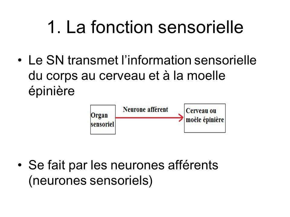 1. La fonction sensorielle Le SN transmet linformation sensorielle du corps au cerveau et à la moelle épinière Se fait par les neurones afférents (neu