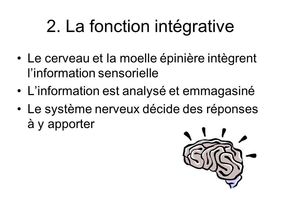2. La fonction intégrative Le cerveau et la moelle épinière intègrent linformation sensorielle Linformation est analysé et emmagasiné Le système nerve