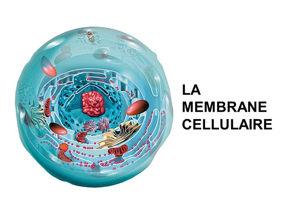 Est la frontière entre lintérieur et lextérieur de la cellule Entour des organites cellulaires Contrôle des entrées et des sorties de la cellule La membrane … Fait intéressant: La surface de la membrane à lintérieur de la cellule est souvent plus grande que la surface autour de la cellule!