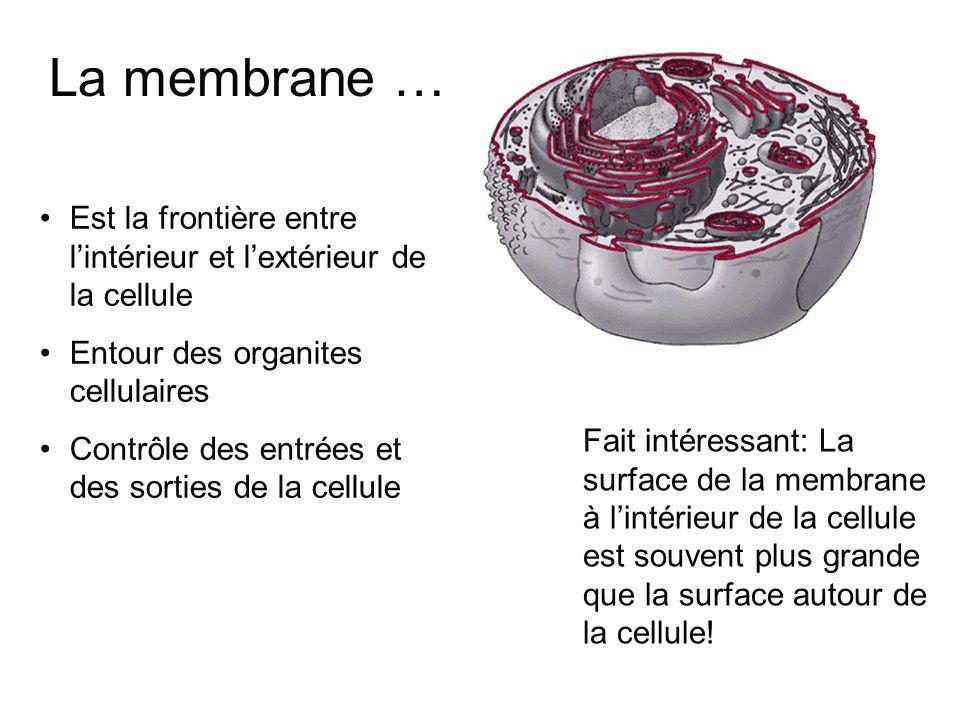 Épaisseur: 7 à 8 nm Vraiment 2 feuillets visibles au microscope électronique 1 nm (nanomètre) = 1/1000 de µm Il faudrait superposer 10 000 épaisseurs de membrane pour obtenir lépaisseur dune feuille de papier.