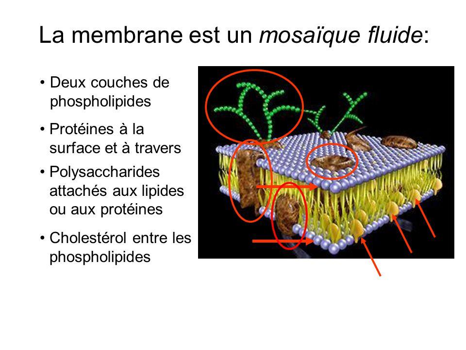 1.Phospholipides (deux couches) Il y a 2 types: Lipides Les deux types de lipides aident avec la fluidité de la membrane.