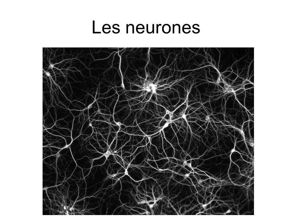Le tissu nerveux est composé de 2 types de cellules : Neurones Les cellules qui accomplissent la plupart des fonctions propres au système nerveux Gliocytes Les cellules qui soutiennent, nourrissent et protègent les neurones