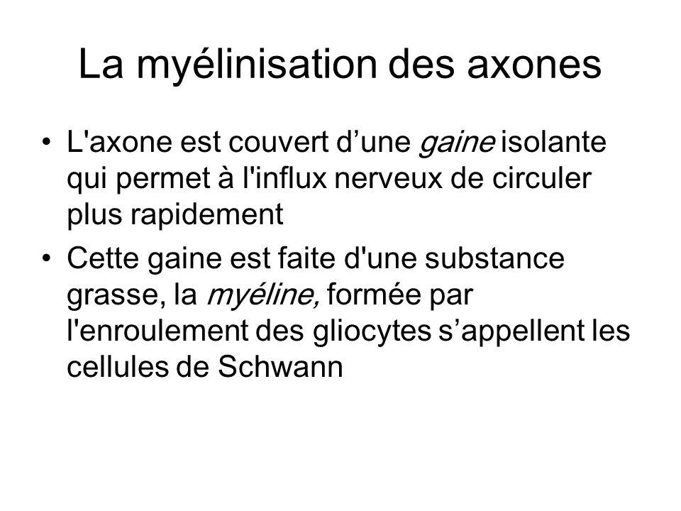 La myélinisation des axones L'axone est couvert dune gaine isolante qui permet à l'influx nerveux de circuler plus rapidement Cette gaine est faite d'