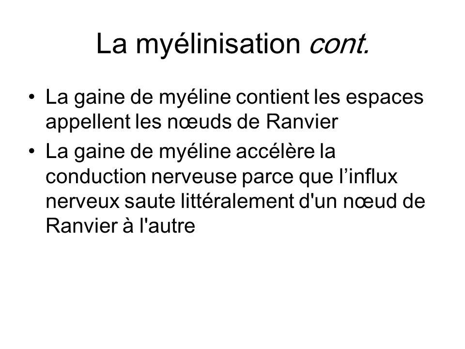 La myélinisation cont. La gaine de myéline contient les espaces appellent les nœuds de Ranvier La gaine de myéline accélère la conduction nerveuse par