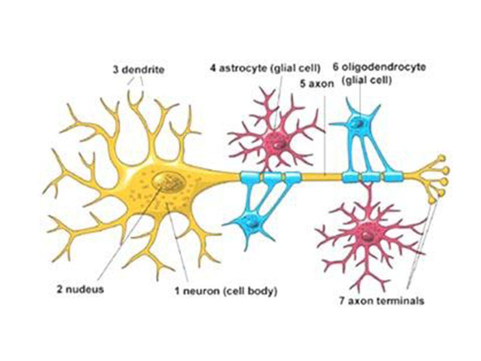La structure dun neurone Le neurone est composé des structures suivants: – Dendrites – Corps cellulaire – Axone – Myéline (quelque fois) – Terminaisons axonales