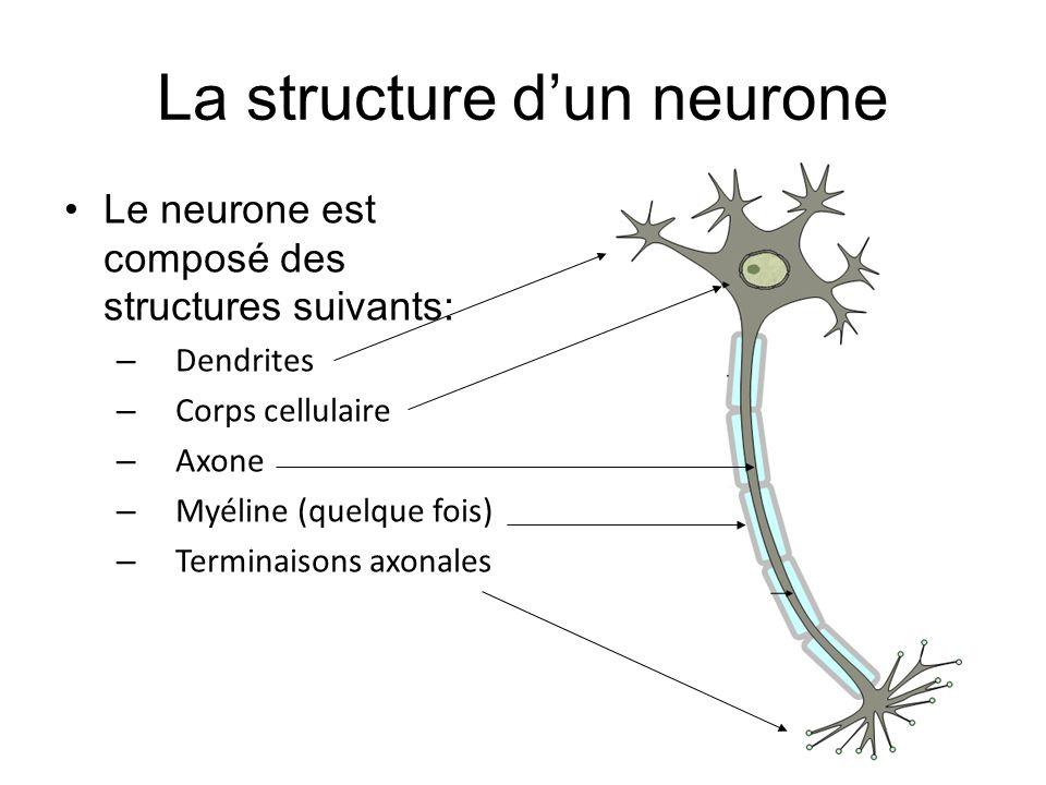 La structure dun neurone Le neurone est composé des structures suivants: – Dendrites – Corps cellulaire – Axone – Myéline (quelque fois) – Terminaison