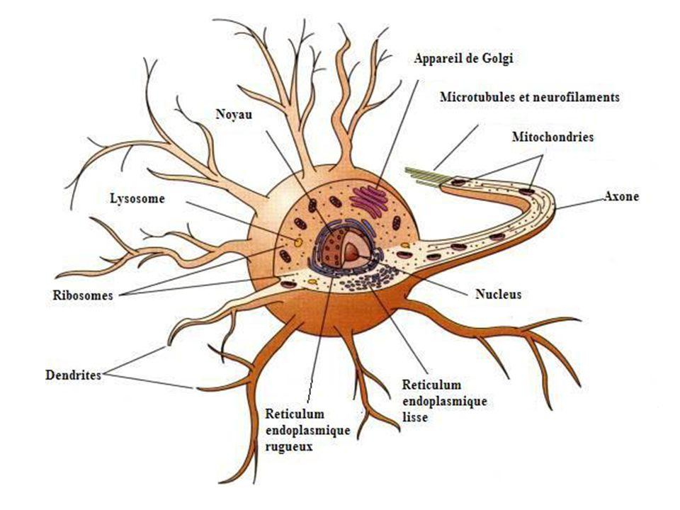Dendrites Les protubérances du corps cellulaire Rôle: Capter les messages des autres neurones et de les transmettre au corps cellulaire Chaque neurone comporte ~100 dendrites!