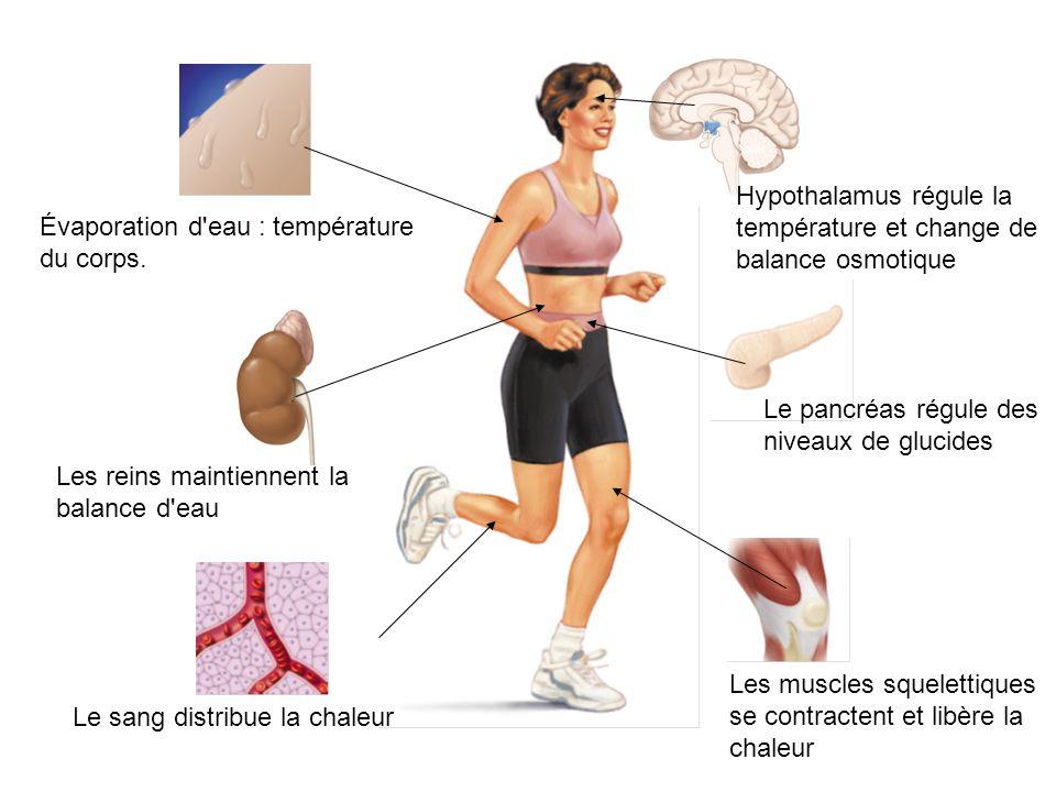 Évaporation d'eau : température du corps. Hypothalamus régule la température et change de balance osmotique Le pancréas régule des niveaux de glucides