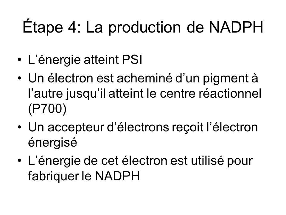Étape 4: La production de NADPH Lénergie atteint PSI Un électron est acheminé dun pigment à lautre jusquil atteint le centre réactionnel (P700) Un acc