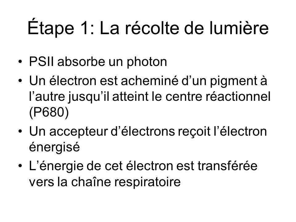 Étape 1: La récolte de lumière PSII absorbe un photon Un électron est acheminé dun pigment à lautre jusquil atteint le centre réactionnel (P680) Un accepteur délectrons reçoit lélectron énergisé Lénergie de cet électron est transférée vers la chaîne respiratoire