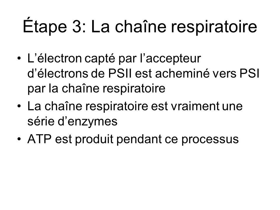 Étape 4: La production de NADPH Lénergie atteint PSI Un électron est acheminé dun pigment à lautre jusquil atteint le centre réactionnel (P700) Un accepteur délectrons reçoit lélectron énergisé Lénergie de cet électron est utilisé pour fabriquer le NADPH