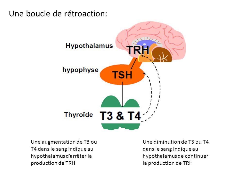 Une augmentation de T3 ou T4 dans le sang indique au hypothalamus darrêter la production de TRH Une diminution de T3 ou T4 dans le sang indique au hyp