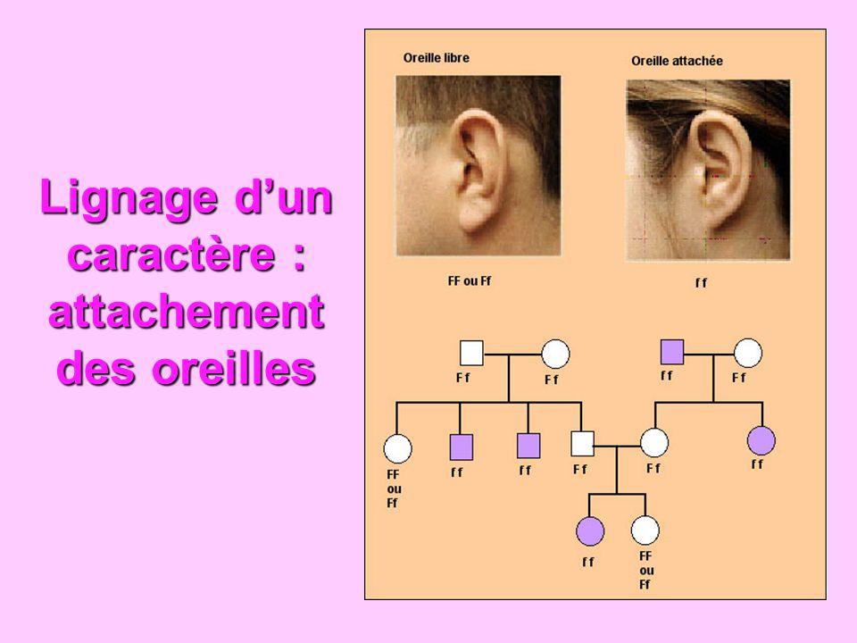 Lignage dun caractère : attachement des oreilles