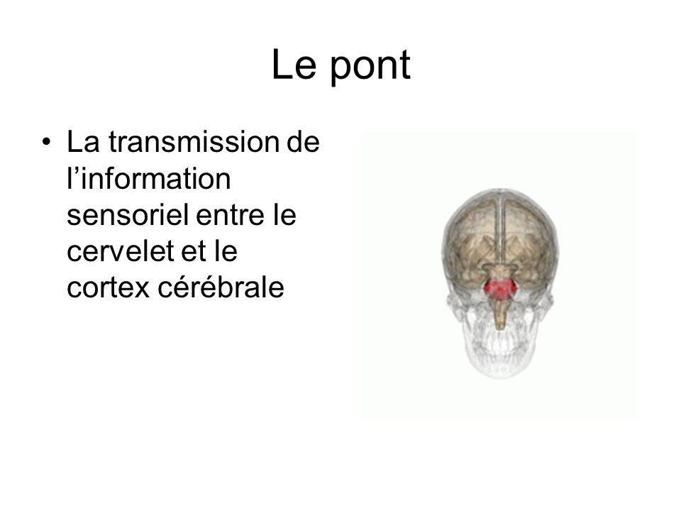 Le pont La transmission de linformation sensoriel entre le cervelet et le cortex cérébrale