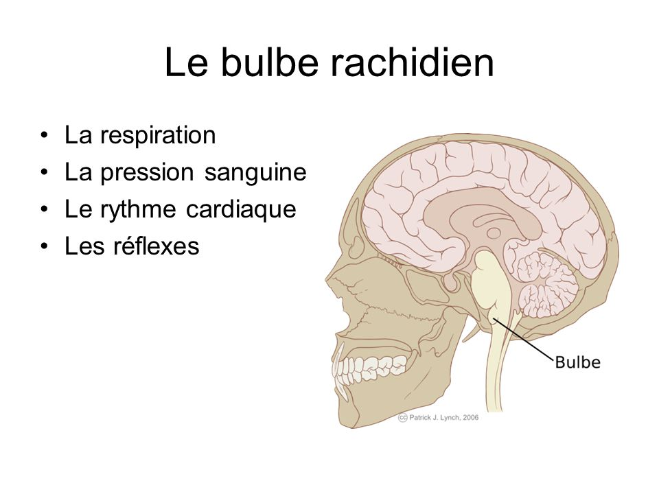 Le bulbe rachidien La respiration La pression sanguine Le rythme cardiaque Les réflexes