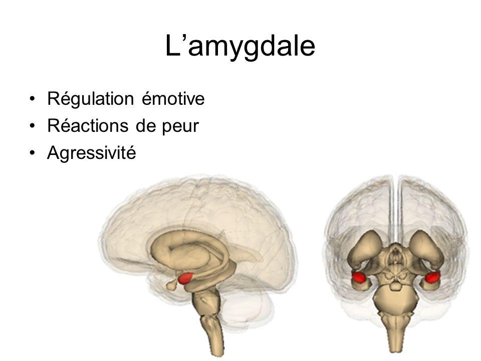 Lamygdale Régulation émotive Réactions de peur Agressivité