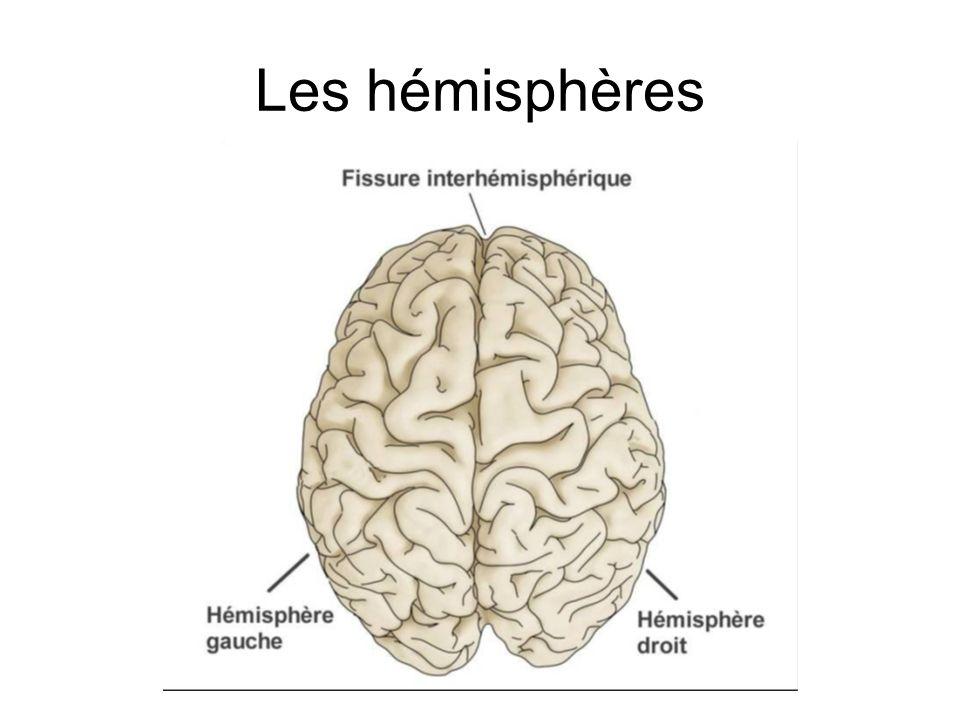 Hémisphère gauche Contrôle la main droite Habilités logiques Langage Calcul Hémisphère droit Contrôle de la main gauche Habilités spatiales Reconnaissance faciale Musique