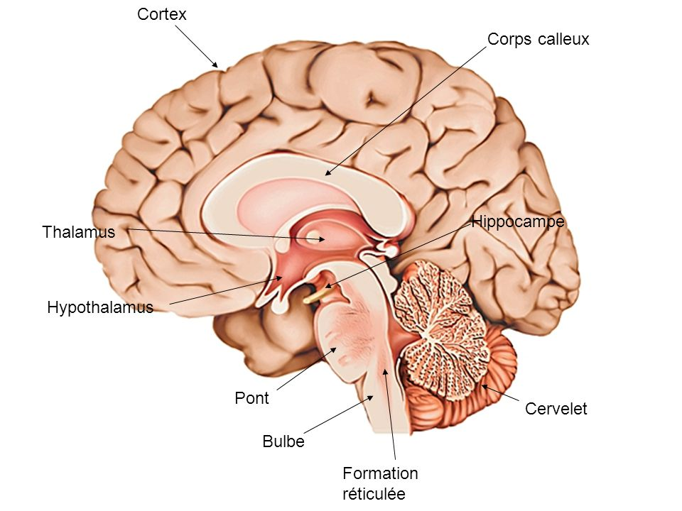 Cortex Cervelet Pont Bulbe Formation réticulée Hippocampe Thalamus Hypothalamus Corps calleux