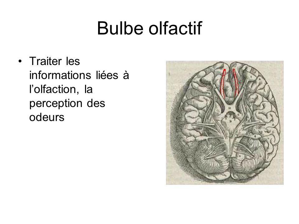 Bulbe olfactif Traiter les informations liées à lolfaction, la perception des odeurs