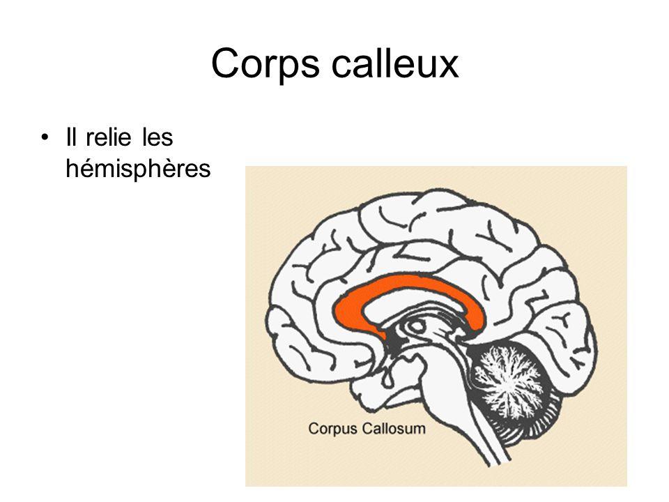 Corps calleux Il relie les hémisphères