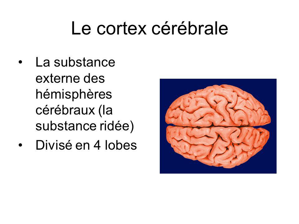 Le cortex cérébrale La substance externe des hémisphères cérébraux (la substance ridée) Divisé en 4 lobes