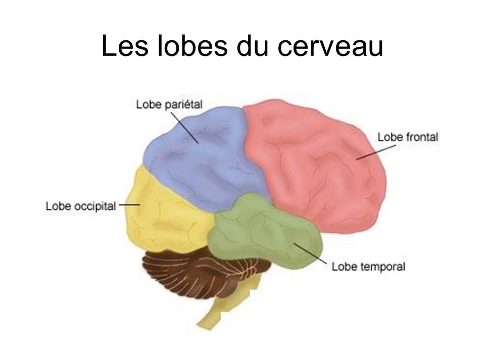 LobeFonction FrontalPensés, planification, raisonnement, émotions PariétalPerception des stimuli, langage OccipitalVision TemporalAudition, olfaction, mémoire