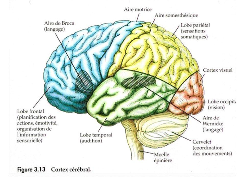 Le cervelet Coordination des mouvements (précision, fluidité)
