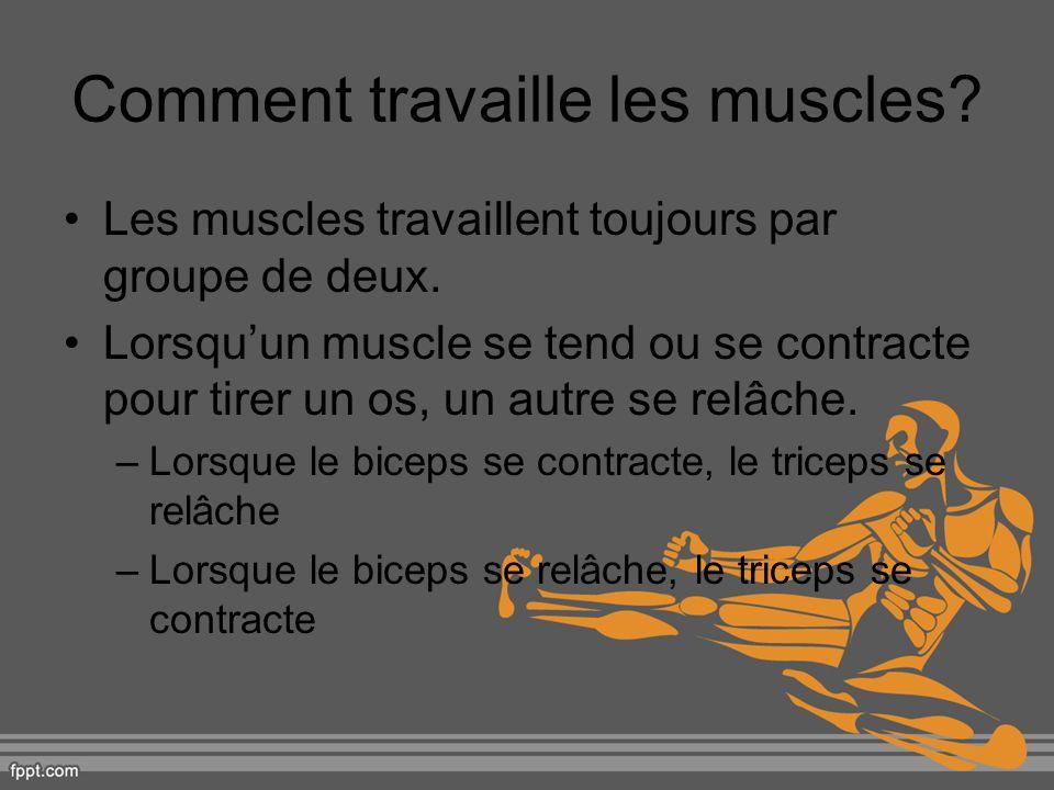 Comment travaille les muscles? Les muscles travaillent toujours par groupe de deux. Lorsquun muscle se tend ou se contracte pour tirer un os, un autre