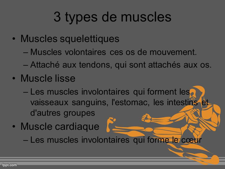 3 types de muscles Muscles squelettiques –Muscles volontaires ces os de mouvement. –Attaché aux tendons, qui sont attachés aux os. Muscle lisse –Les m